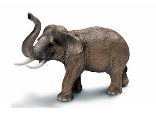 Elefante Asiático Macho