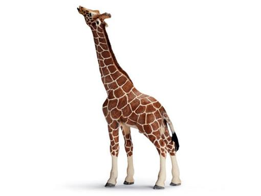 Girafa Macho Comendo